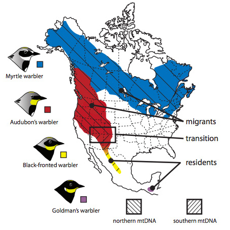 (Caption: This map from Toews, et al shows the breeding ranges, migratory behaviour and distribution of mitochondrial DNA (mtDNA) in four groups of yellow-rumped warblers. New data from Toews and colleagues demonstrates that the area where there is a transition in mtDNA is also home to a shift in migratory behaviour, from residents to migrants.)