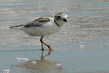 Piping Plover, Erik Johnson