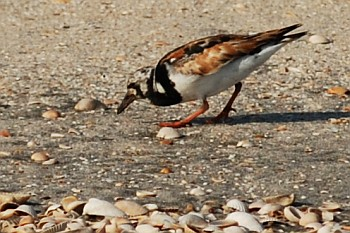 Ruddy Turnstone, David J. Ringer
