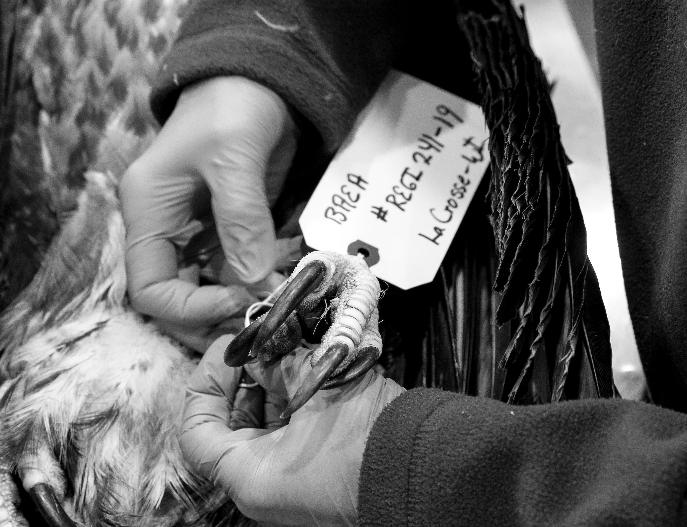 The carcass of Bald Eagle that dies at REGI is tagged. Tom Lynn