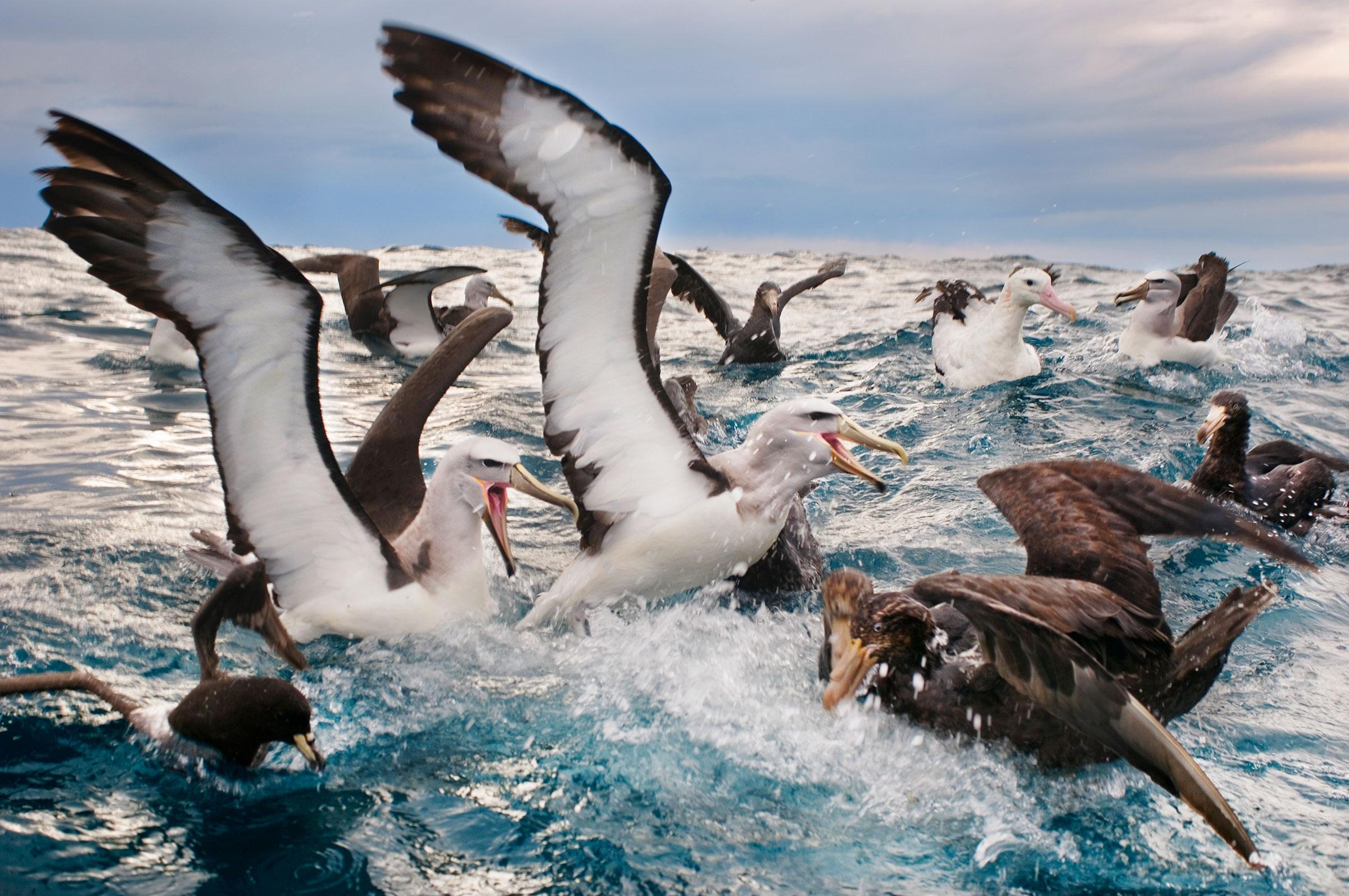 Salvin's Albatrosses. Frans Lanting