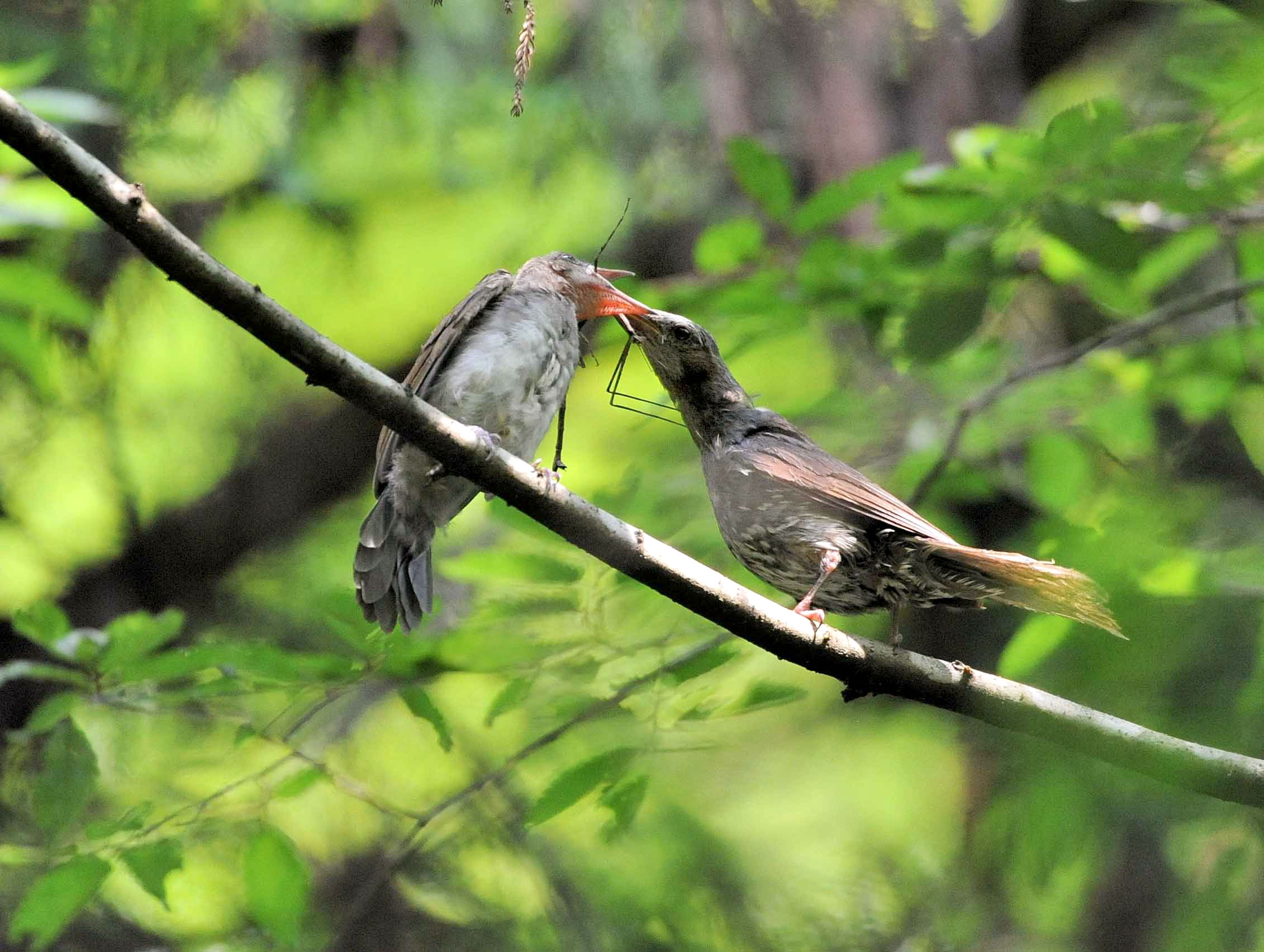 Brown-eared Bulbul feeding stick insect to its chick. Hakuren Kato