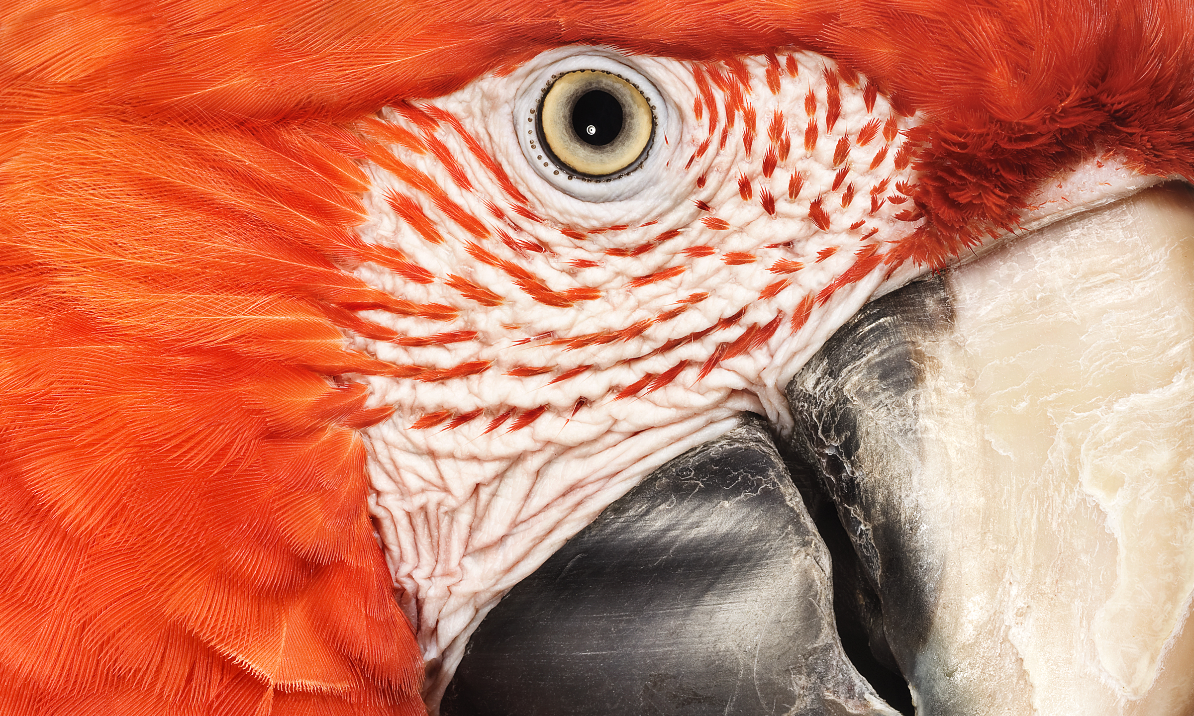 Red-and-green Macaw. Andrew Zuckerman