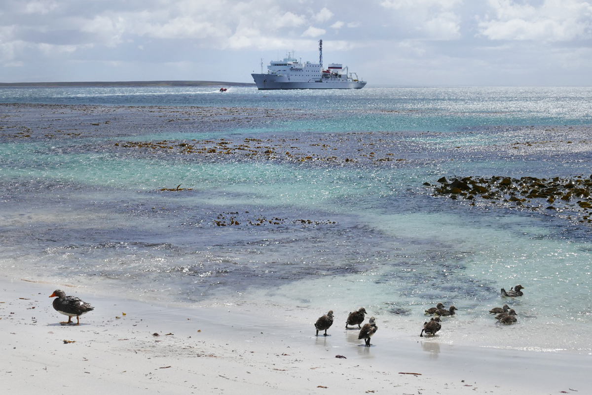 A family of endemic Falkland Steamer-Ducks on the beach in front of the Akademik Ioffe. Noah Strycker