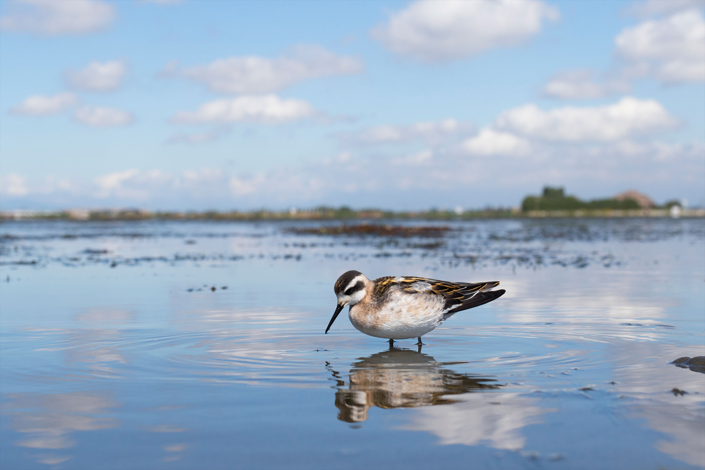 This shot of a wading Red-necked Phalarope—along with seven other images Gertsman took—made the photo awards' Top 100 gallery. Liron Gertsman/Audubon Photography Awards
