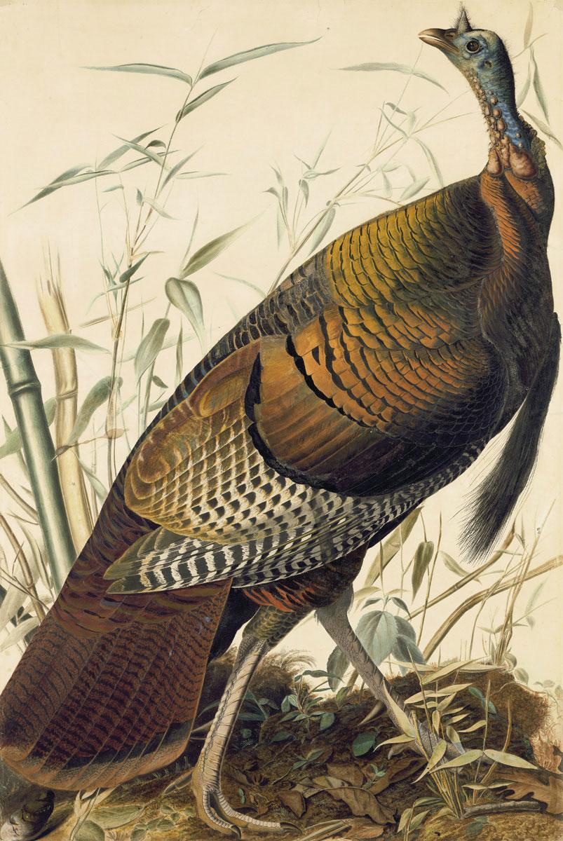 The Wild Turkey graces the first plate of Birds of America. Illustration: John James Audubon