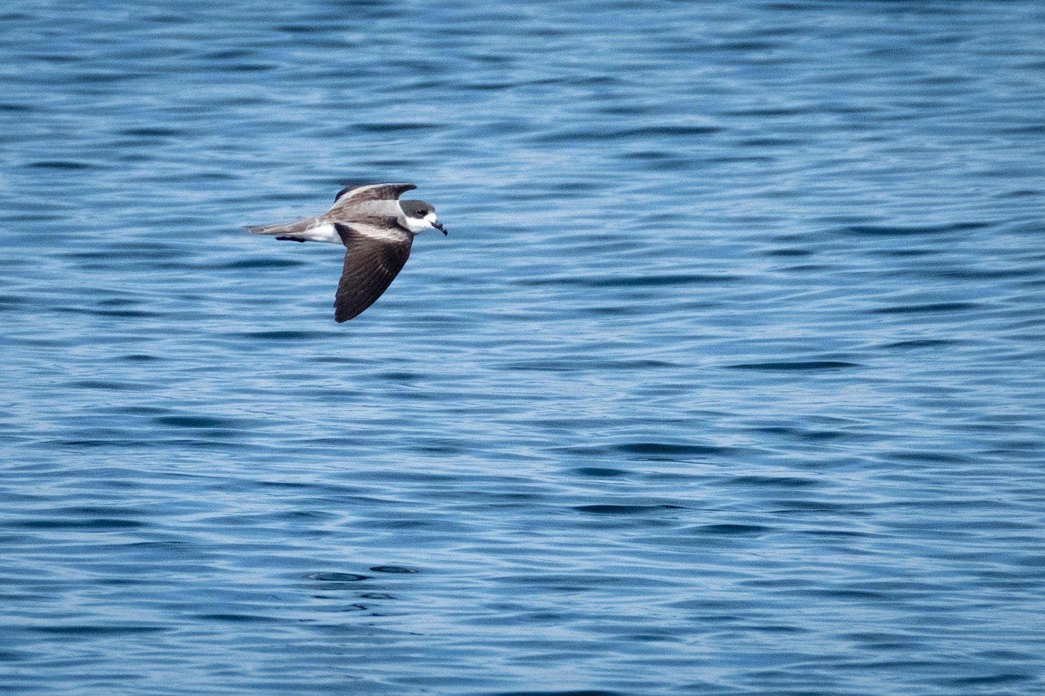 Hornby's Storm-Petrels forage along the South American coast year-round. Rodrigo Moraga