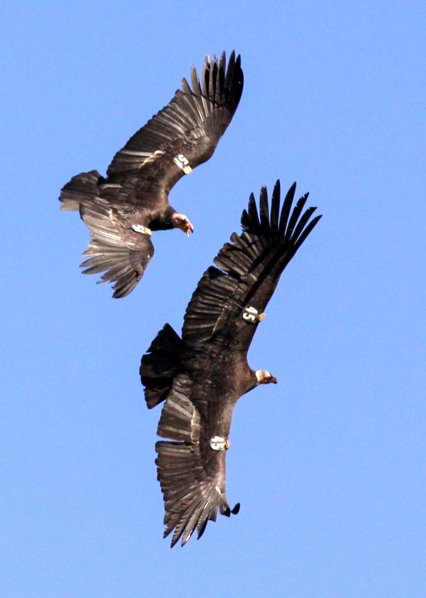 Two California Condors chase each over the Big Sur coast. Courtesy of Chris West, Senior Wildlife Biologist for the Yurok Tribe