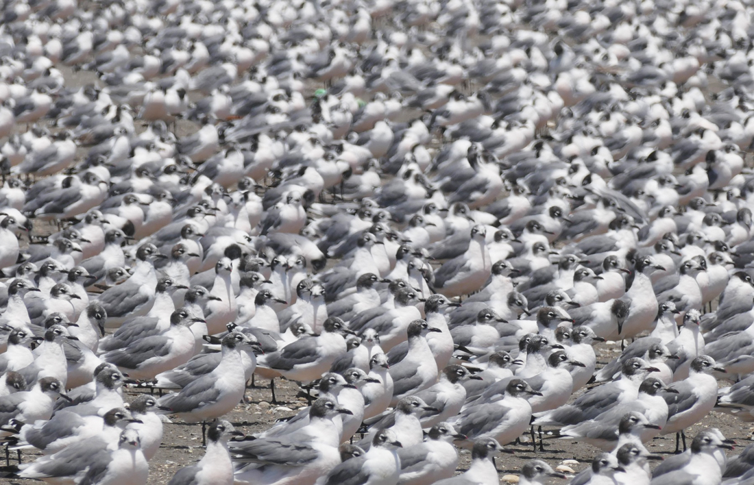 Thousands of Franklin's Gulls carpet the beach at the Maipo River mouth. Noah Strycker