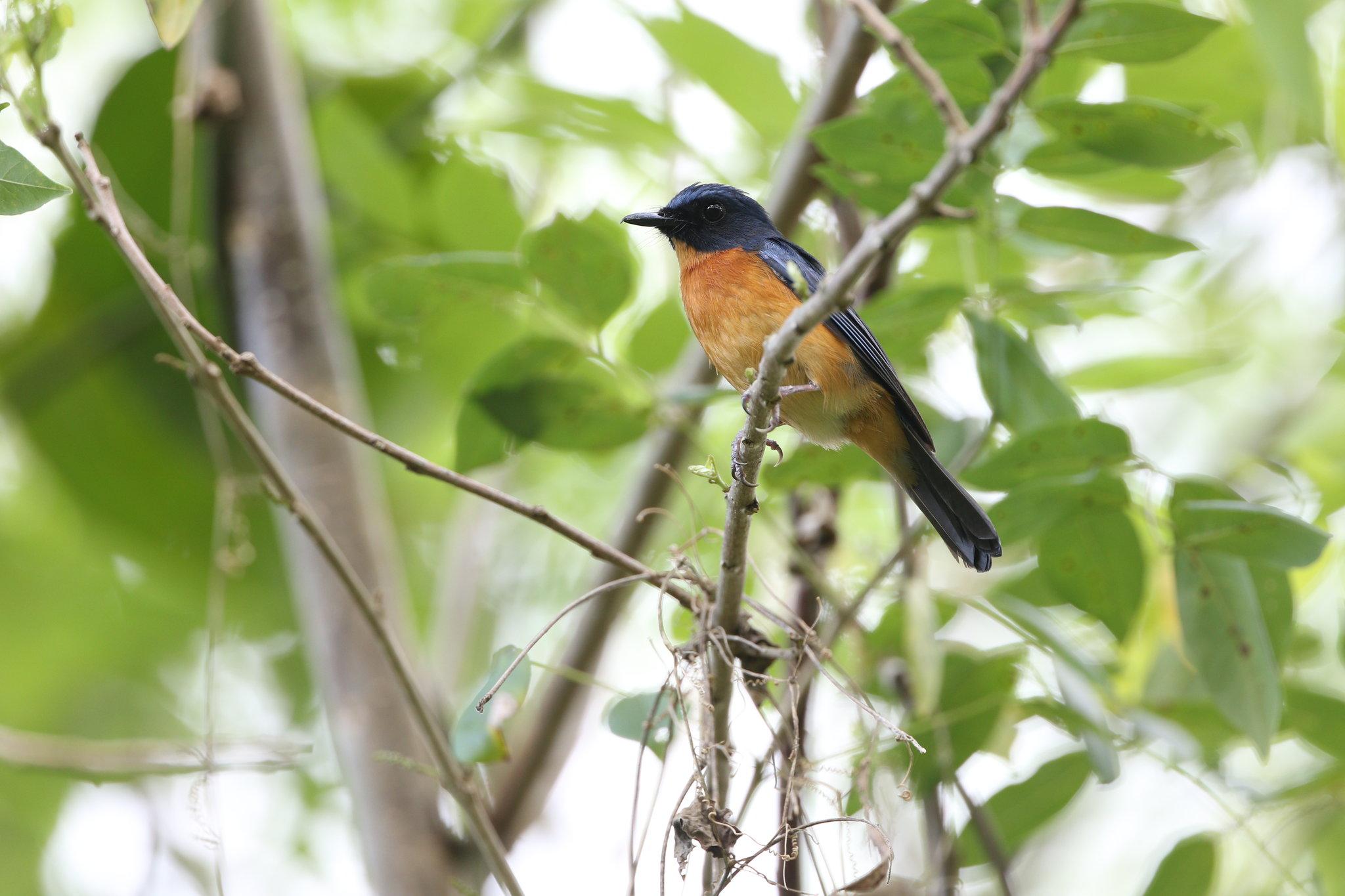 Togian Jungle-Flycatcher. James Eaton/Birdtour Asia