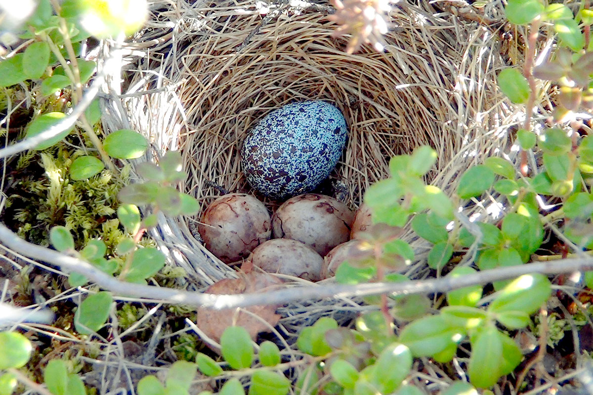 It's pretty obvious to us which egg does not belong—but Little Buntings in Alaska were unable to recognize this 3-D printed cuckoo egg as a foreign object. Harald Ris