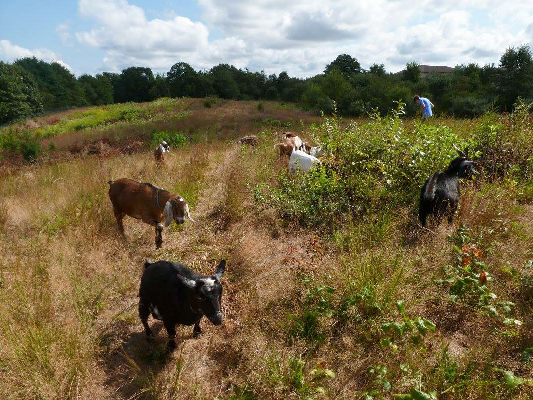 The goats went right to work mowing down invasive plants to make more space for bird-friendly greenery. Stella Miller