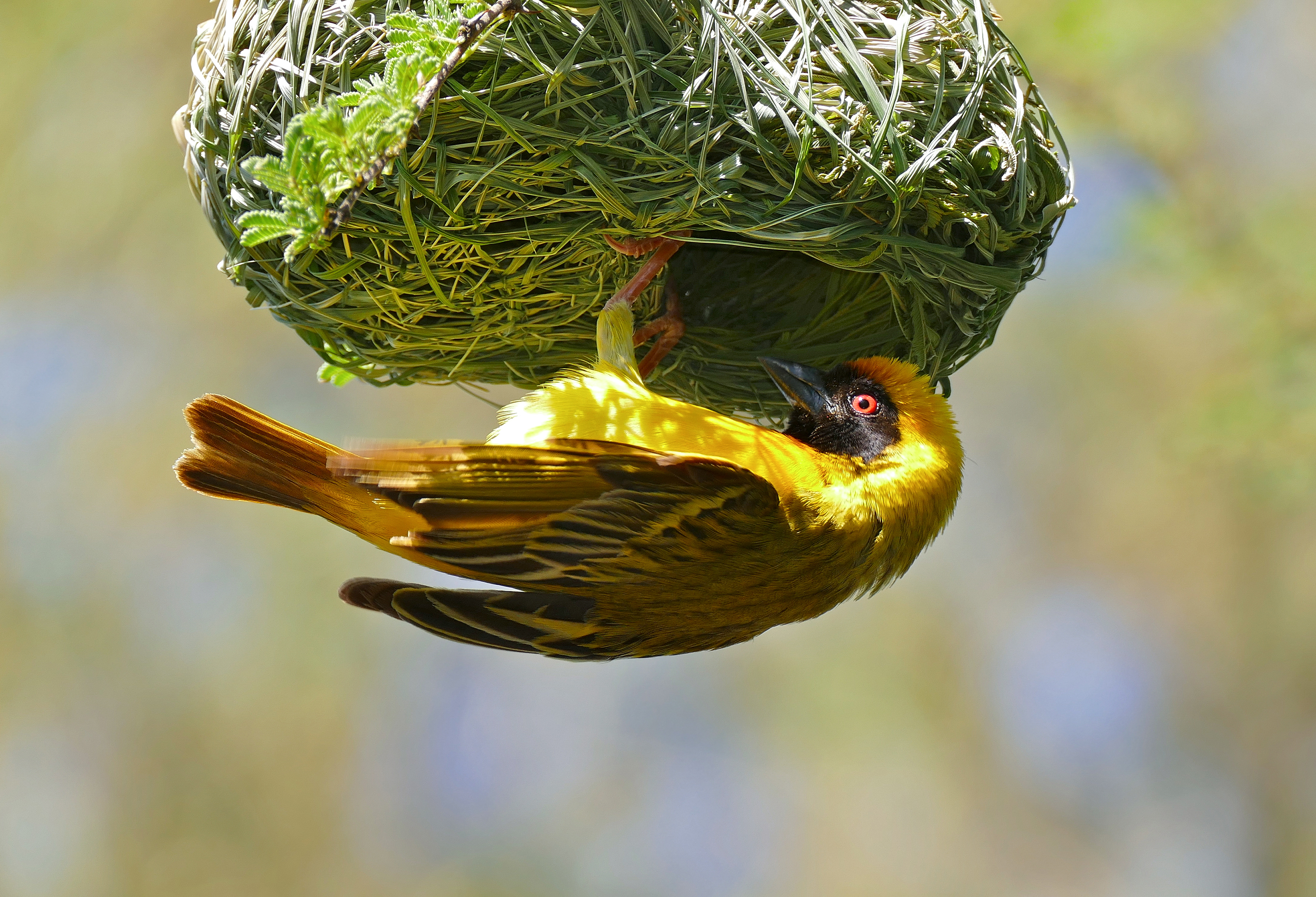 Southern Masked Weavers build nests that have specially sized entrances to ward off parasitic birds. Bernard Dupont