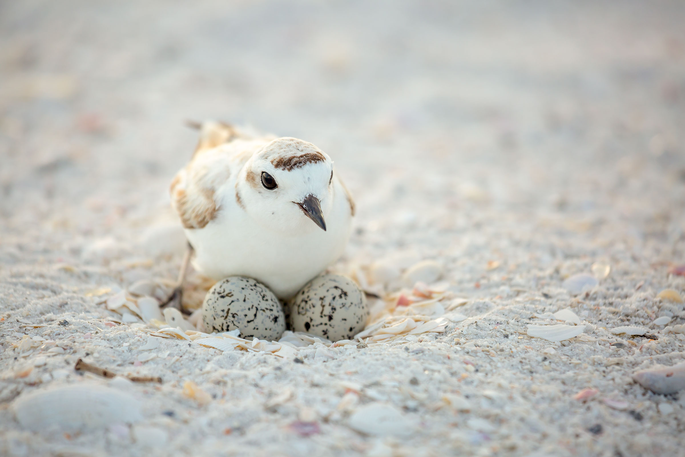 Snowy Plover nesting in the Florida Panhandle. Britt Brown