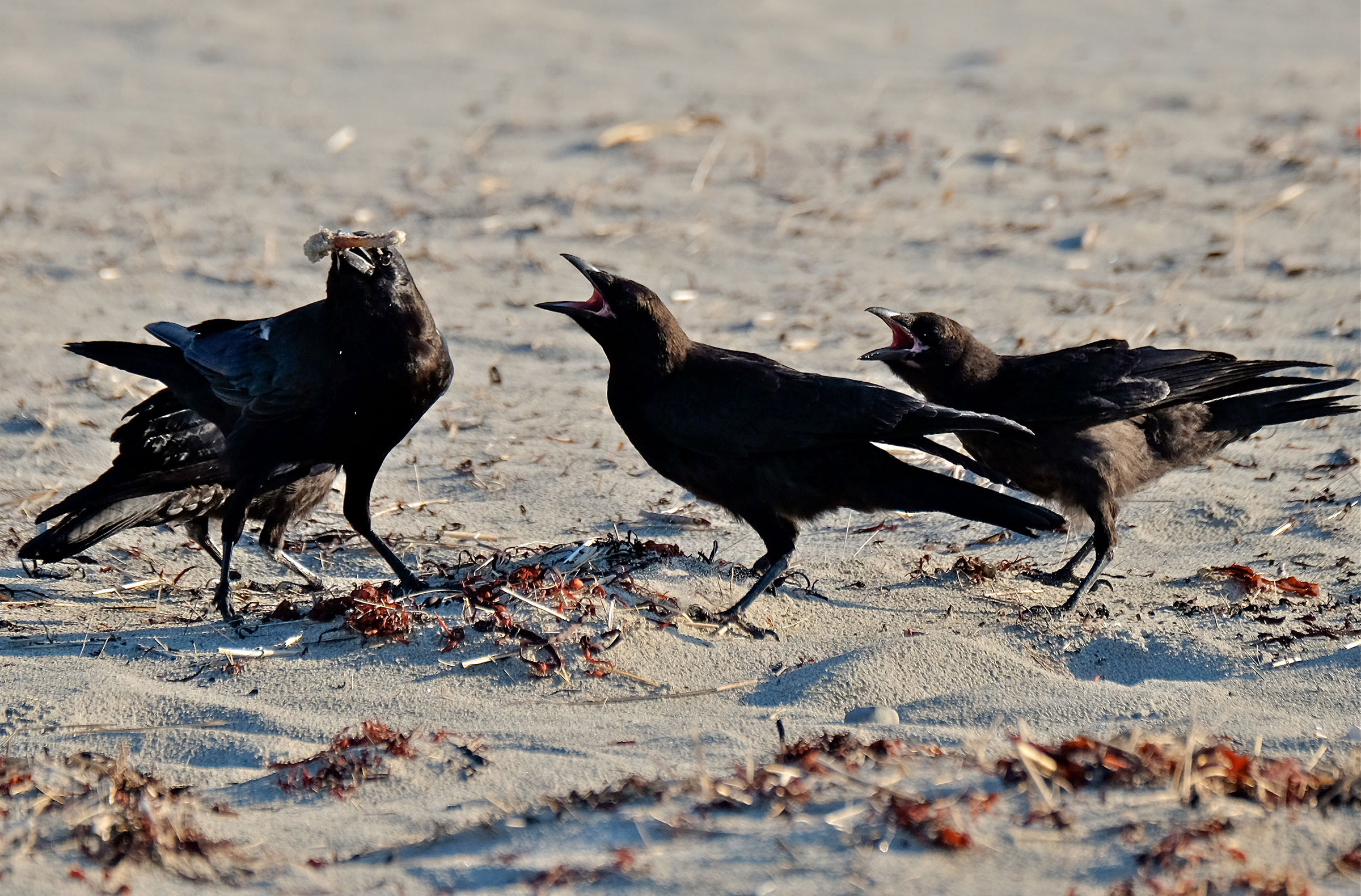 Crows on Good Harbor Beach pose another danger to Piping Plover chicks. Kim Smith
