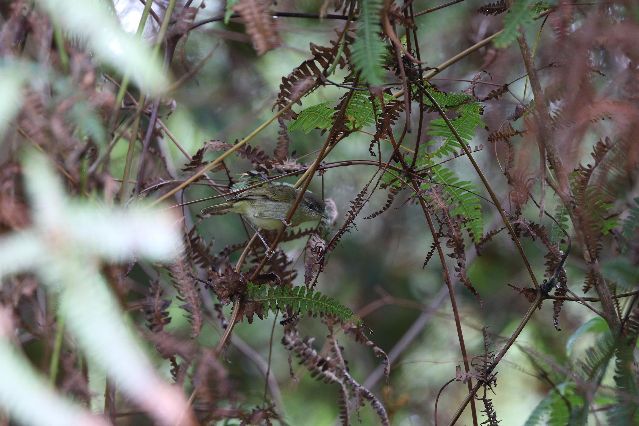 Taliabu Leaf-Warbler. James Eaton/Birdtour Asia