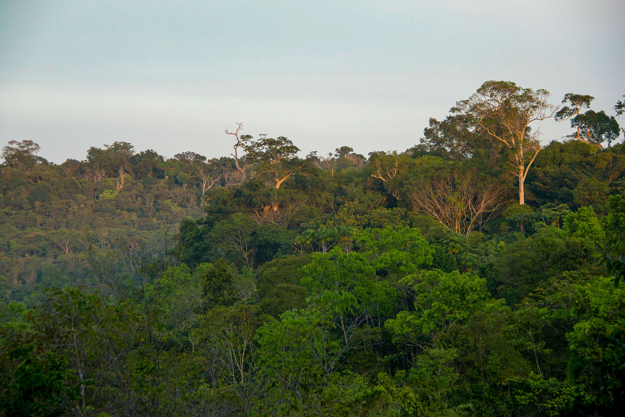 The Biological Dynamics of Forest Fragments Project area extends across a 37,000-acre portion of the Amazon rainforest in Brazil.