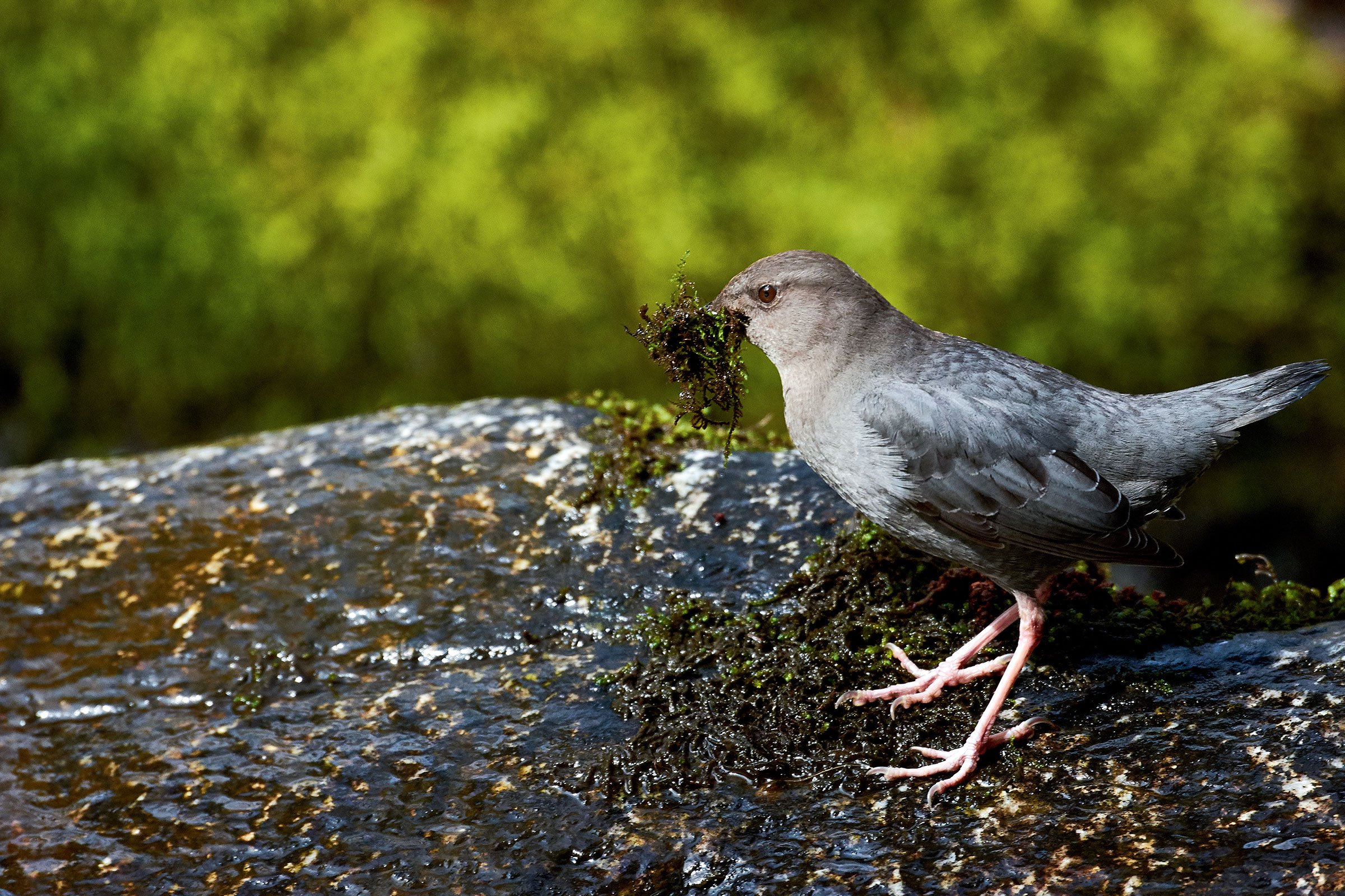 """American Dippers have been a crucial indicator of the Elwha River's state—both in sickness and in health. Frank D. Lospalluto/<a href=""""https://www.flickr.com/photos/chloesview/24600168463/"""">Flickr (CC BY-NC-ND 2.0)</a>"""