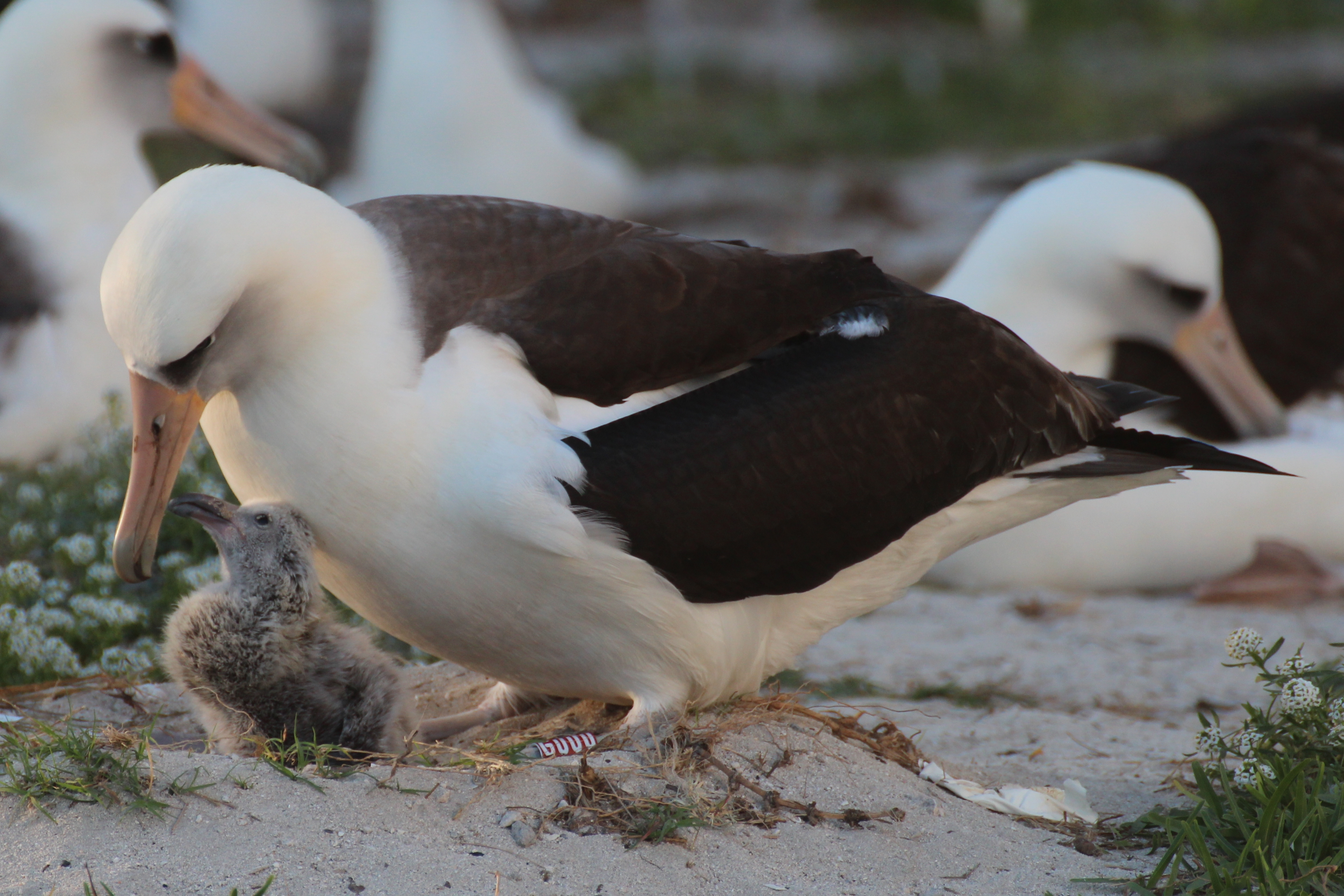 """Wisdom, the world's oldest known bird, with her chick in 2016, while her mate, Akeakamai (meaning """"desire for wisdom"""" in Hawaiian) is out foraging. Kiah Walker/USFWS Volunteer"""