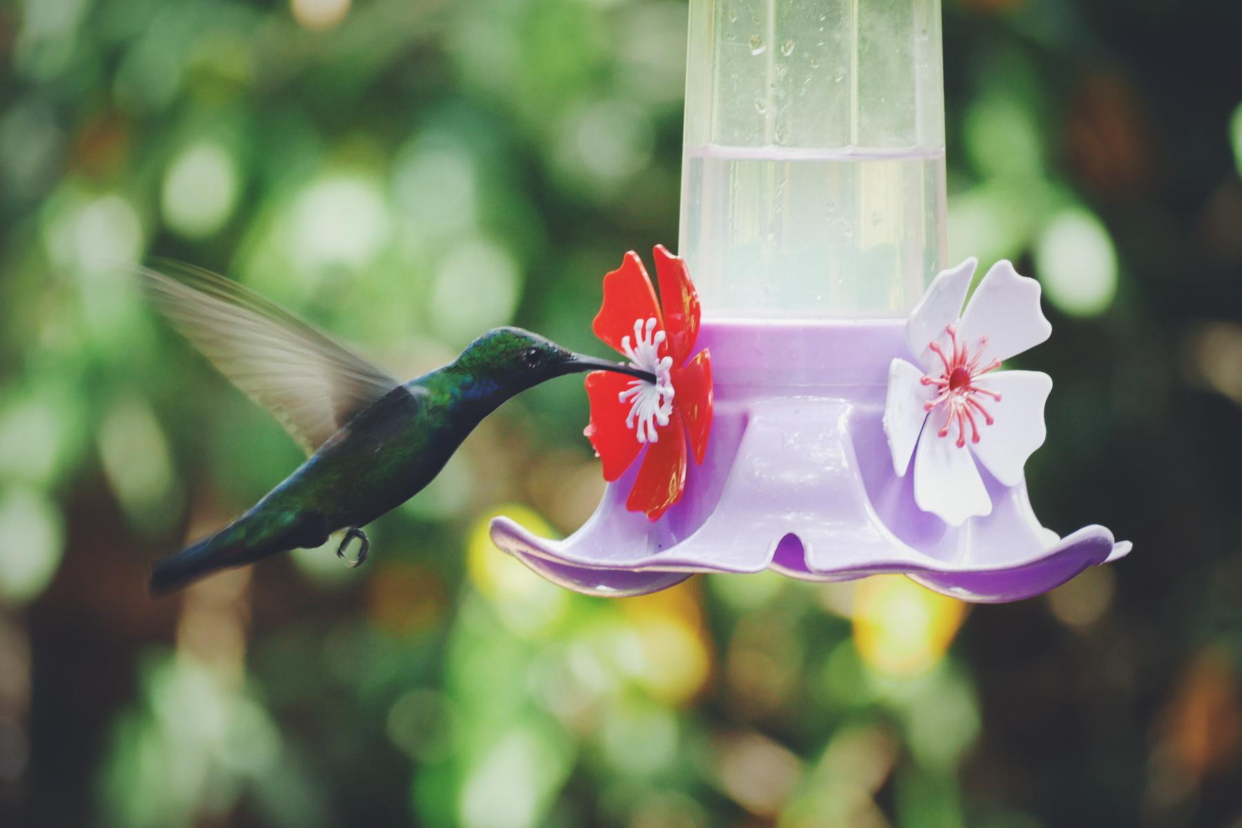 A Black-throated Mango at a hummingbird feeder in Puerto Iguazu. Noah Strycker