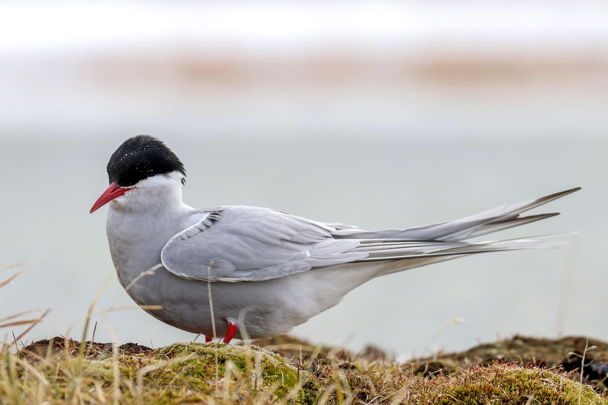 Arctic Tern on the coastal plain of the Arctic Refuge. Shiloh Schulte/USFWS