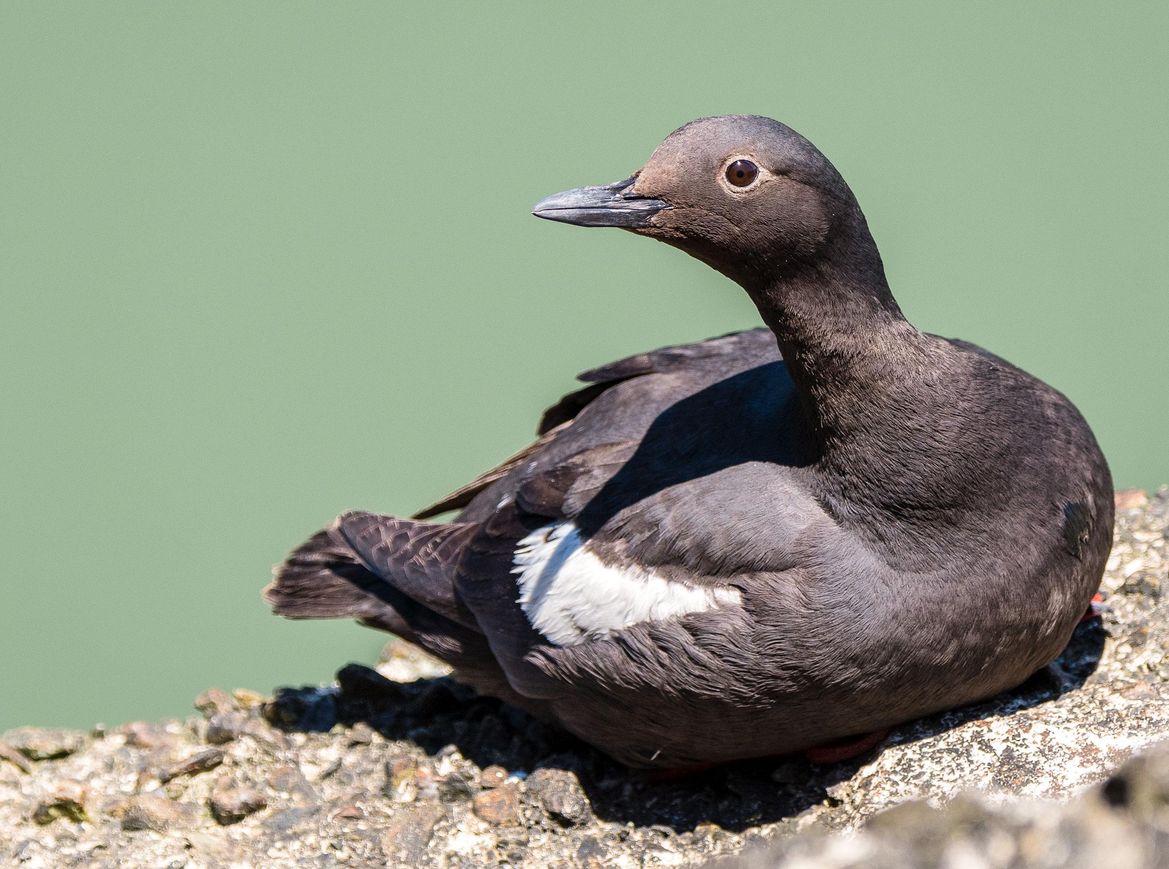 """Pigeon Guillemot. <a href=""""https://www.flickr.com/photos/beckymatsubara/34533107873/in/photolist-JLnpa2-VfW9h5-UBzcRB-bWjmtc-27RRR1"""">Becky Matsubara</a>/Flickr (CC BY 2.0)"""