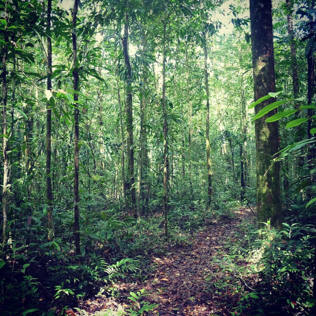 Primary forest in the GUNMA reserve near Belem, Brazil. Noah Strycker
