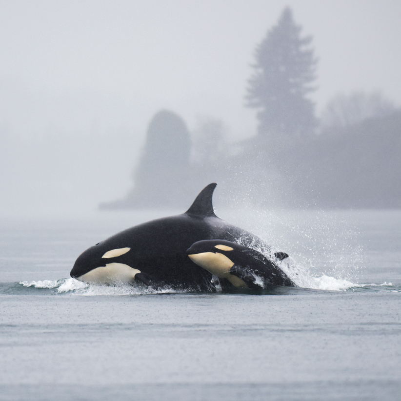 Orcas seen in Tahoma during the CBC. Mike Charest
