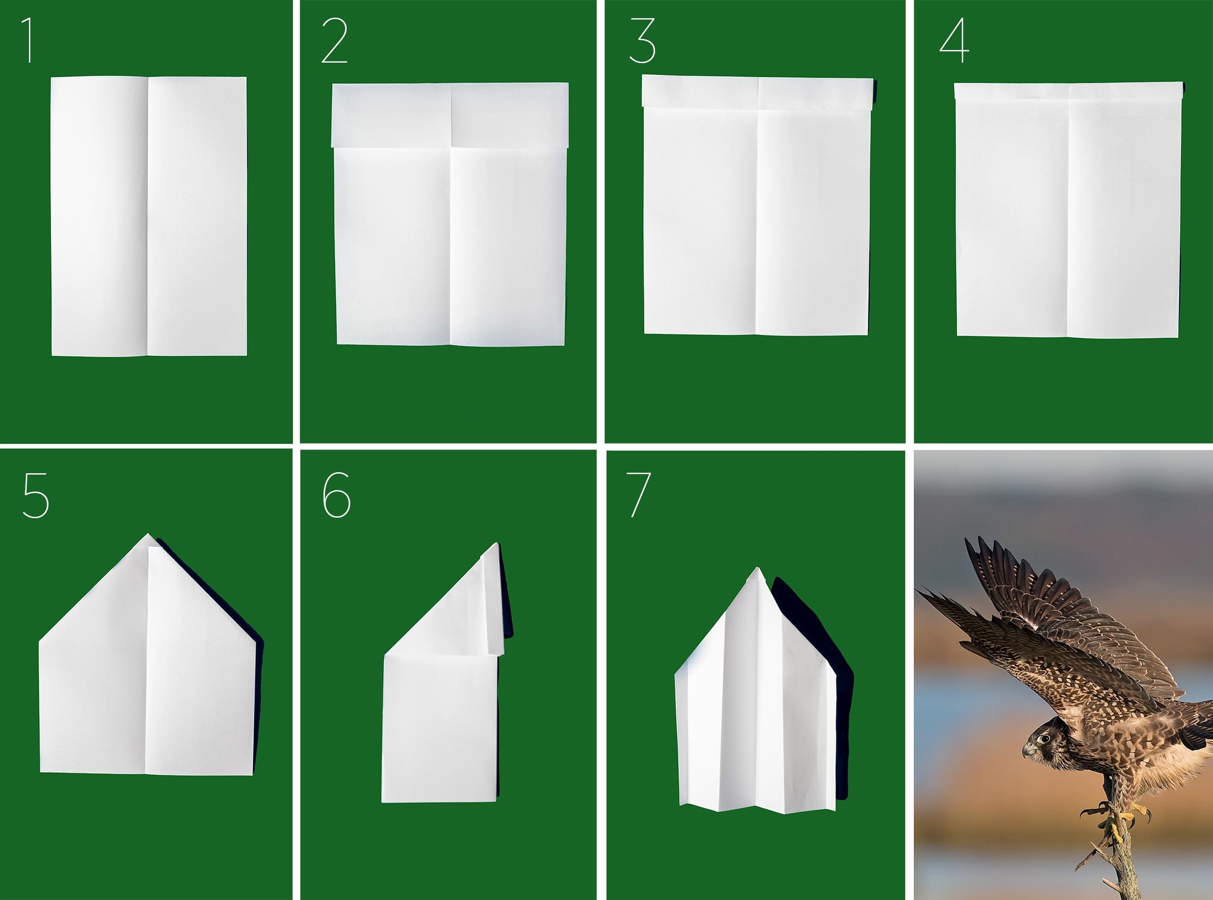 Direcciones para doblar un avion de papel como un Halcón Peregrino. Todos los fotos de los aviones de papel: Camilla Cerea/Audubon. Halcón Peregrino. Foto: Thomas Sangemino/Premios de Fotografía Audubon.