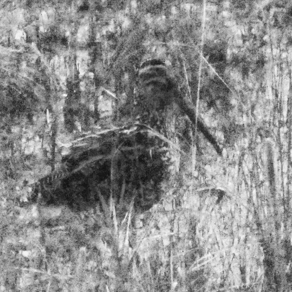 The Giant Snipe poses as darkness falls. Noah Strycker