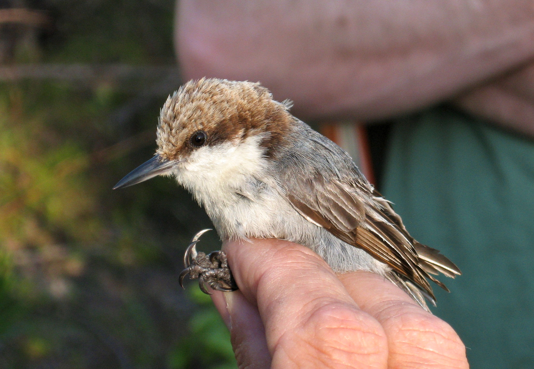 Bahama Nuthatch, held by a researcher on Grand Bahama island in 2007. Thomas A. Benson