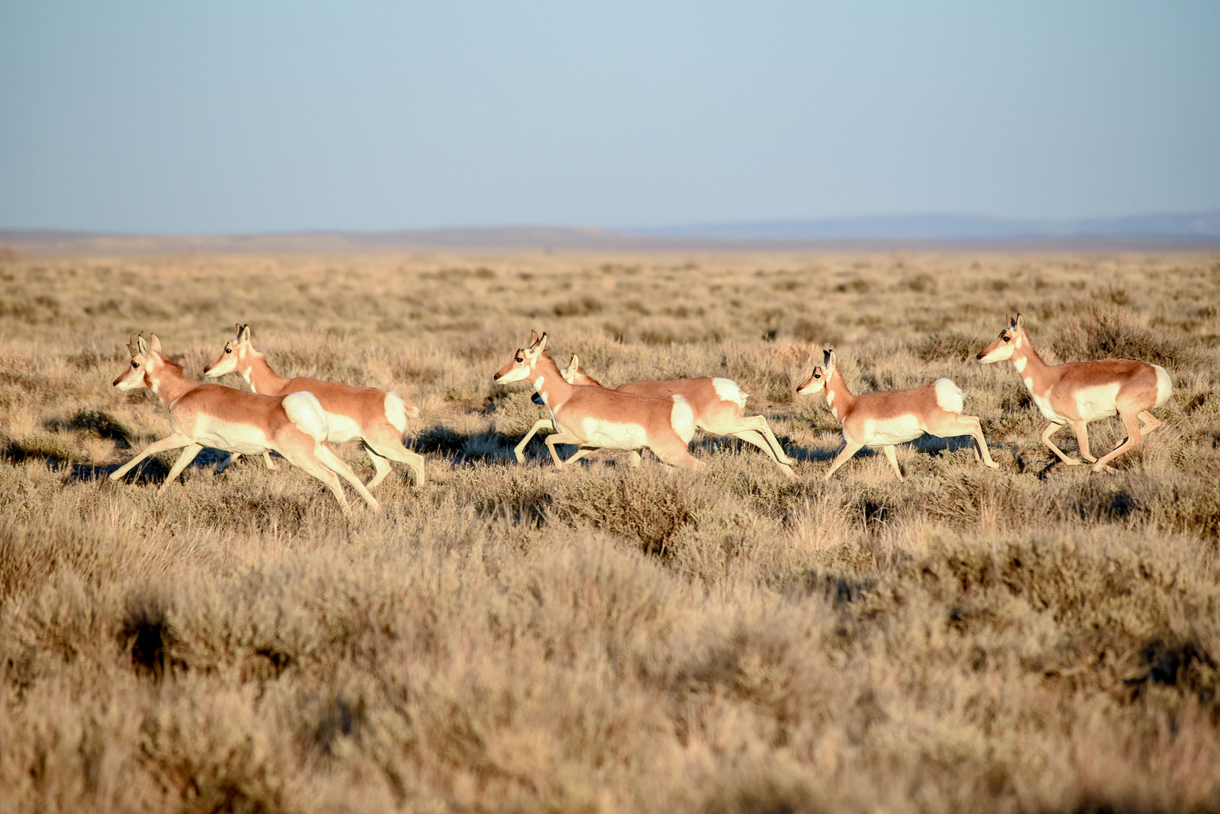 Along with sage-grouse, a Wyoming lease sale includes key habitat for pronghorn. USFWS