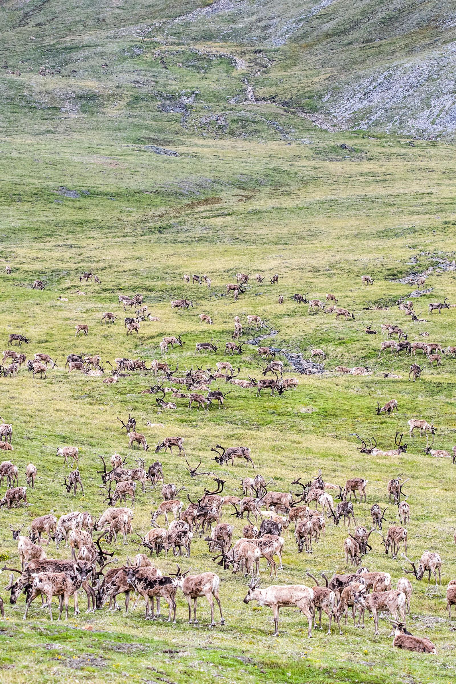 Caribou herd in the Arctic National Wildlife Refuge. Alexis Bonogofsky/USFWS
