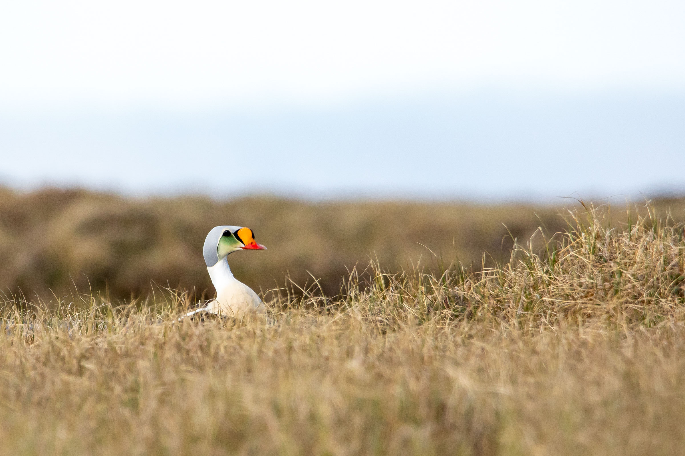 King Eider in the Arctic National Wildlife Refuge. Lisa Hupp/USFWS