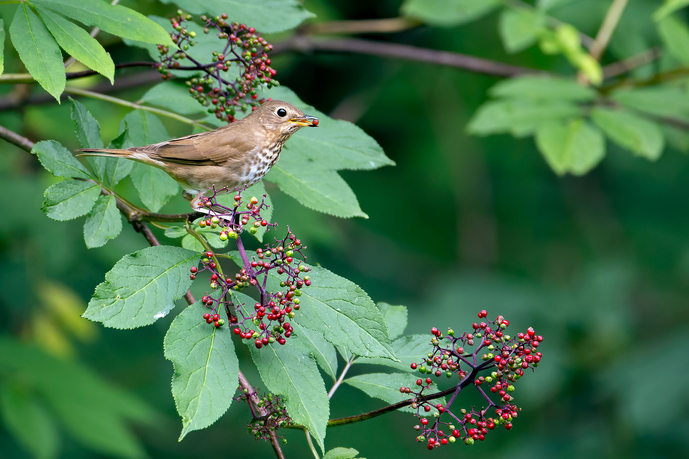 Swainson's Thrushes will burn their own muscles as energy if it'll get them to a food-rich rest stop, maybe one with Red Elderberries pictured here. Mick Thompson