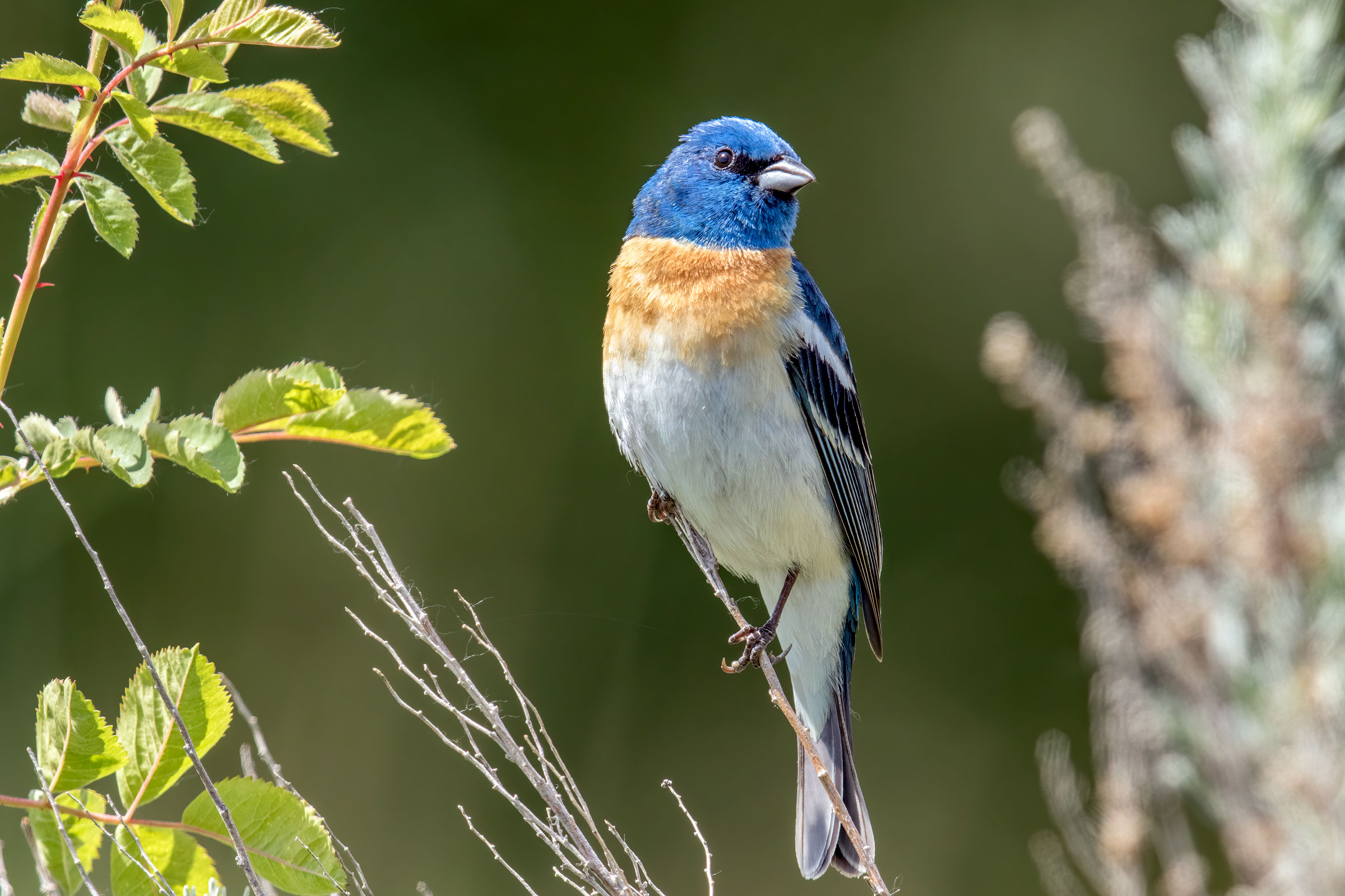 A Lazuli Bunting sits perched on a plant with a regal look on its face. The songbird has a bright blue head with a rusty chest and white belly. Mick Thompson