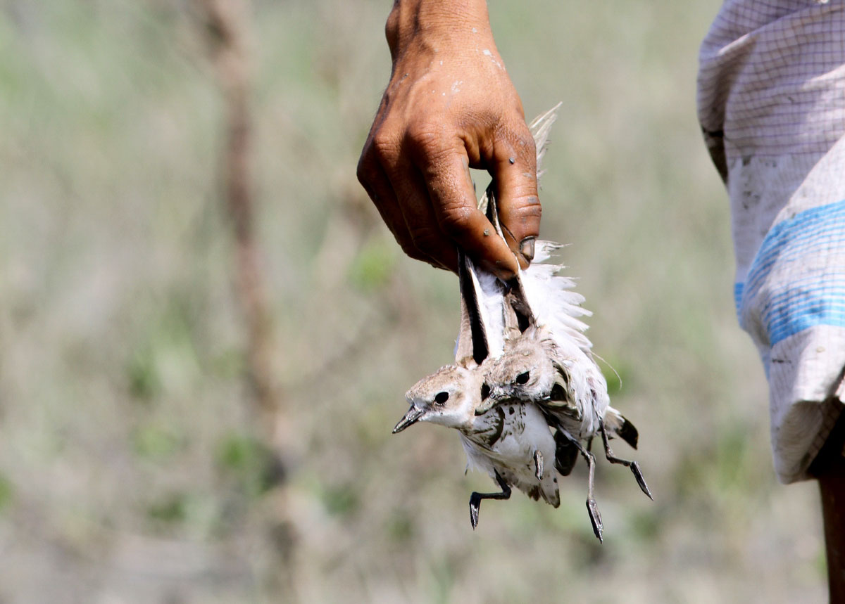 Lesser Sand-Plovers and other shorebirds are sold as meat in some Southeast Asian countries. Sayam U. Chowdhury