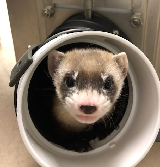 Elizabeth Ann, the first cloned black-footed ferret and first-ever cloned U.S. endangered species, at 50-days old. USFWS National Black-footed Ferret Conservation Center/Flickr (CC 0)