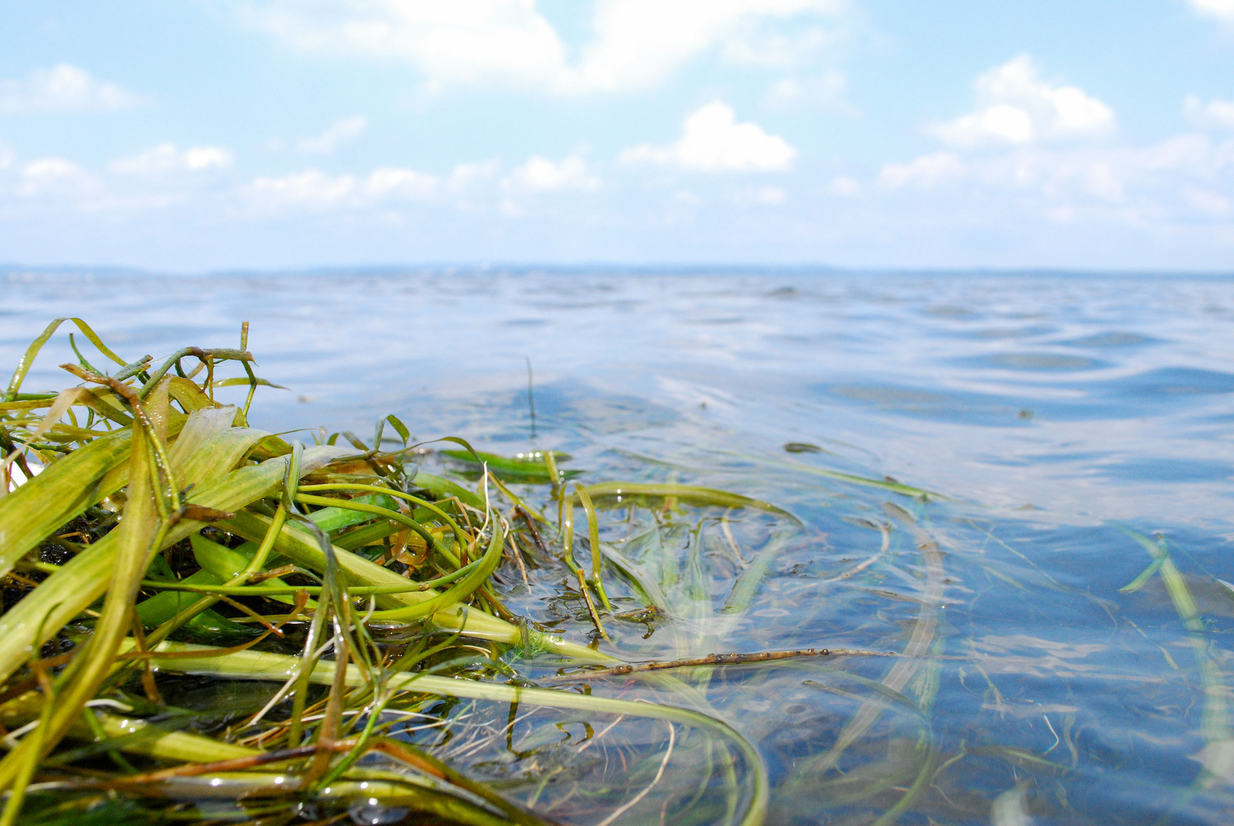 Seagrasses require clean water to grow, so their recovery in the Chesapeake Bay is a sign of a successful pollution cleanup. Chesapeake Bay Program