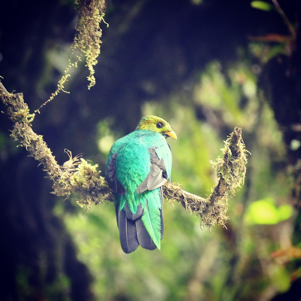 A Golden-headed Quetzal on Manu Road, Peru. Noah Stycker