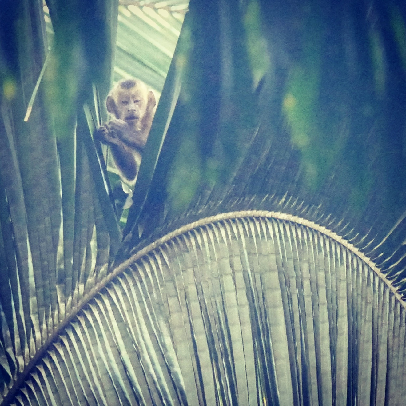 A Brown Capuchin peers down from a palm frond at Los Amigos Biological Station in southeast Peru. Noah Strycker
