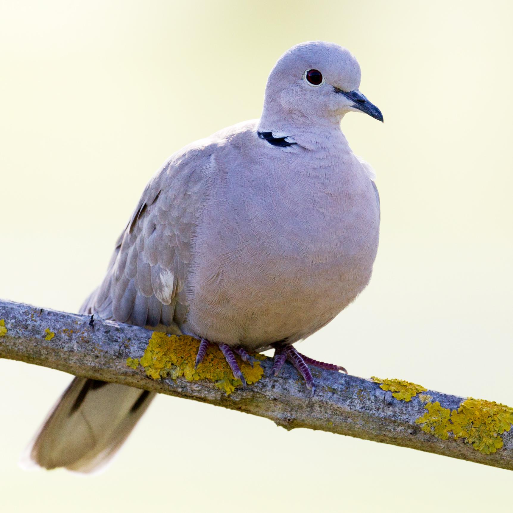 Eurasian Collared-Dove Marcel Holyoak/Flickr Creative Commons