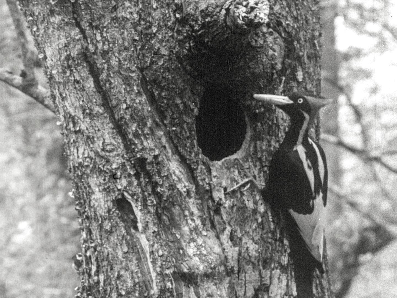Ivory-billed Woodpecker at nest in Louisiana's Singer Tract, 1935. Arthur A. Allen/Public Domain