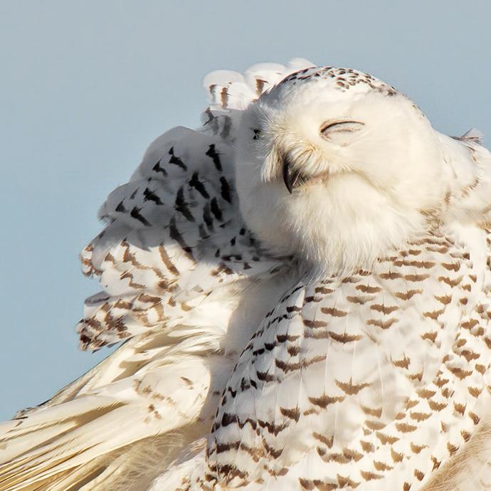 Snowy Owl Marlin Greene/Audubon Photography Awards