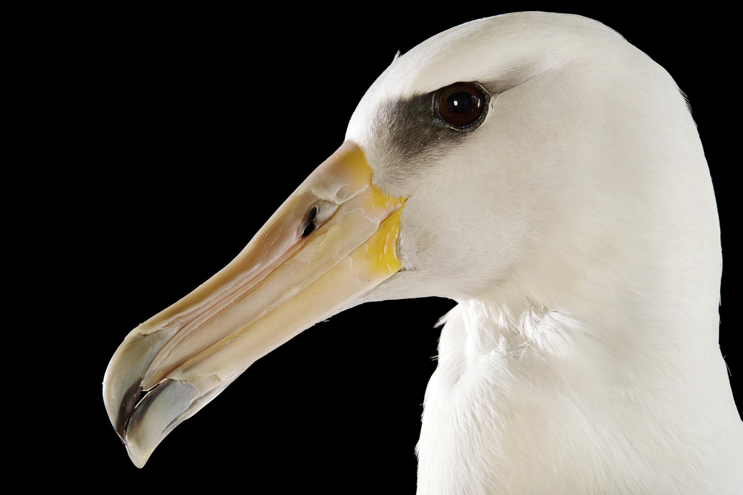 Makana, a Laysan Albatross. Joel Sartore.