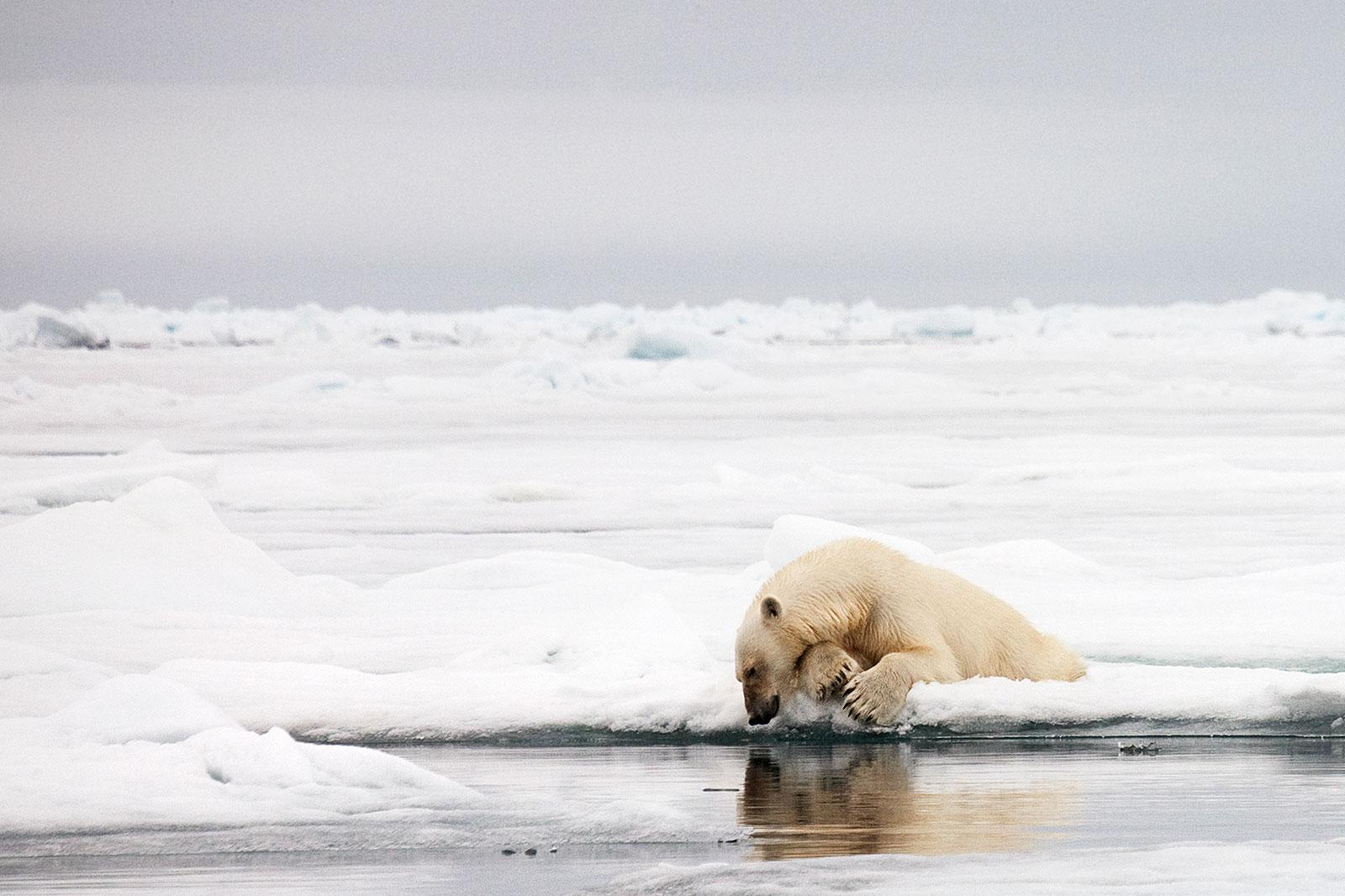 Как охотится белый медведь фото