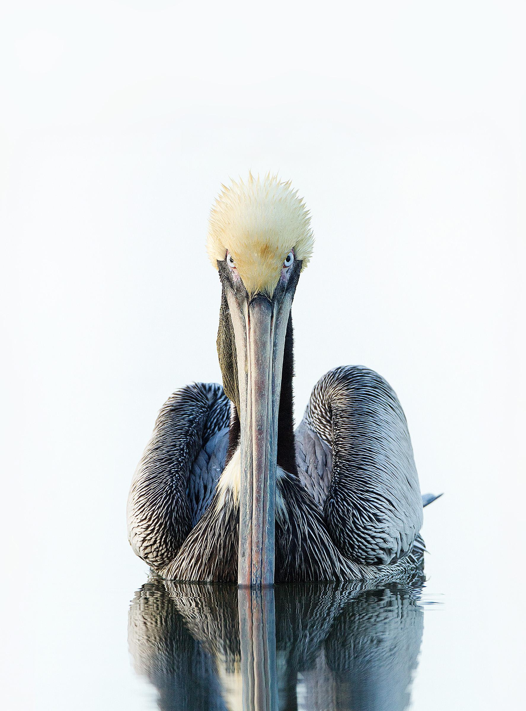 Brown Pelican. Roger Williams/Audubon Photography Awards