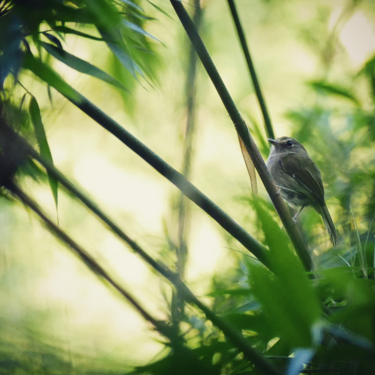A Drab-breasted Pygmy-Tyrant skulks in a bamboo thicket. Noah Strycker