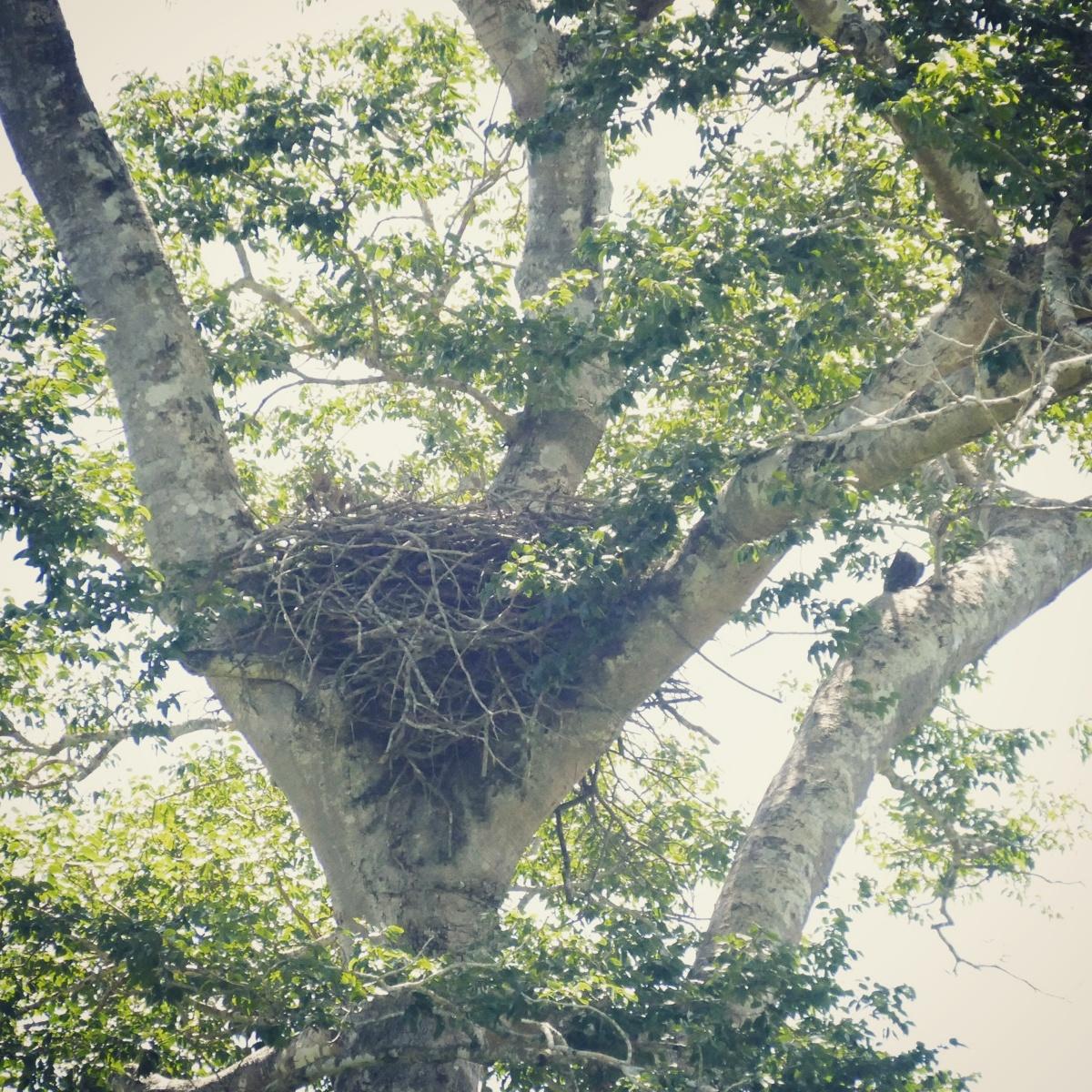 The empty Harpy Eagle nest. Credit: Noah Strycker