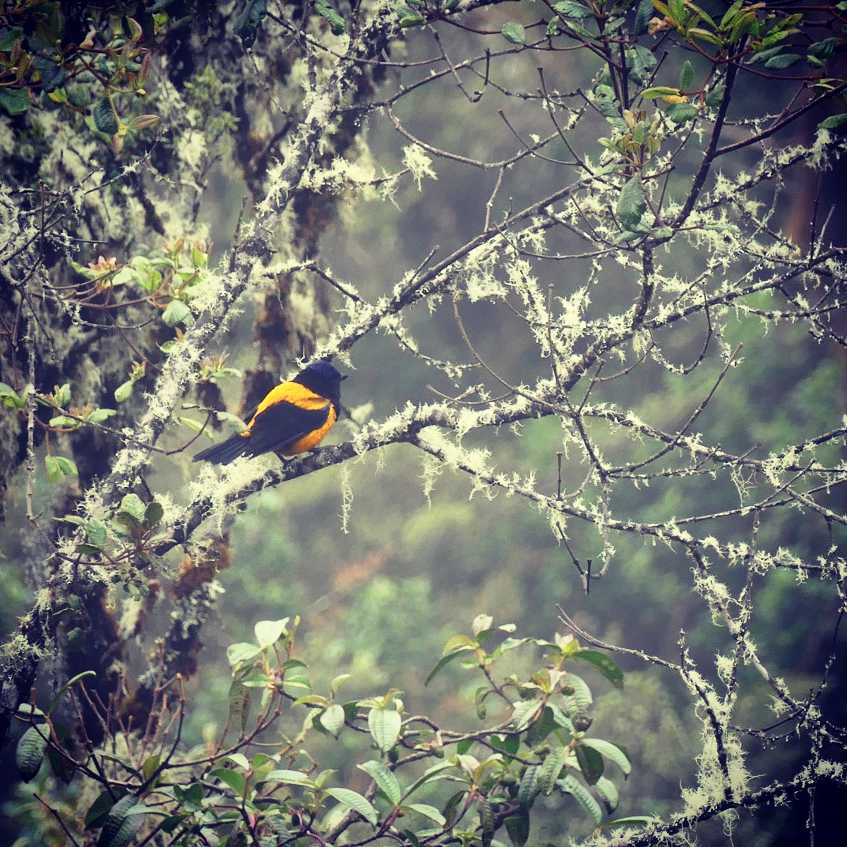 Noah's view of a Golden-backed Mountain-Tanager, one of Peru's rarest and most-wanted birds, at Unchog. Noah Strycker